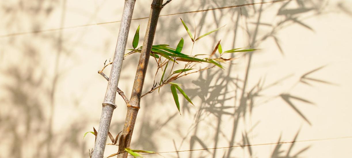 Cmonjardinier vous apprend à tailler le bambou.