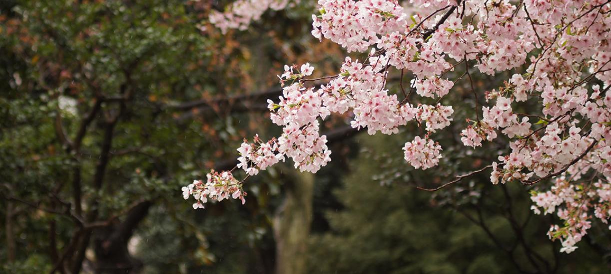 Cmonjardinier vous présente comment tailler les cerisiers.