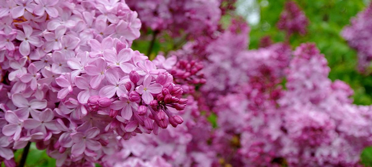 Cmonjardinier vous dit comment choisir son lilas.