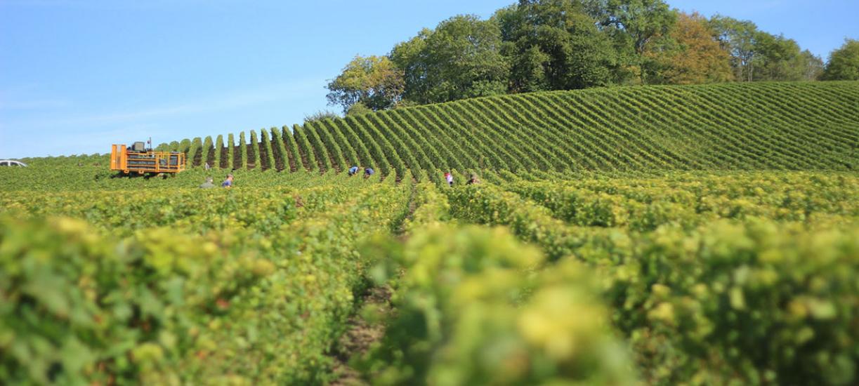 Cmonjardinier vous explique comment tailler la vigne.