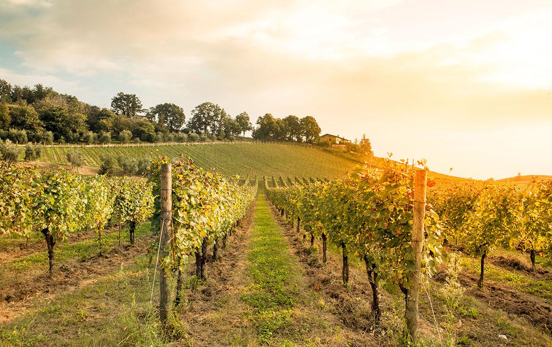 Le traitement des vignes