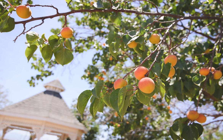 pour de beaux fruits effectuez le traitement des abricotiers adapté et biologique