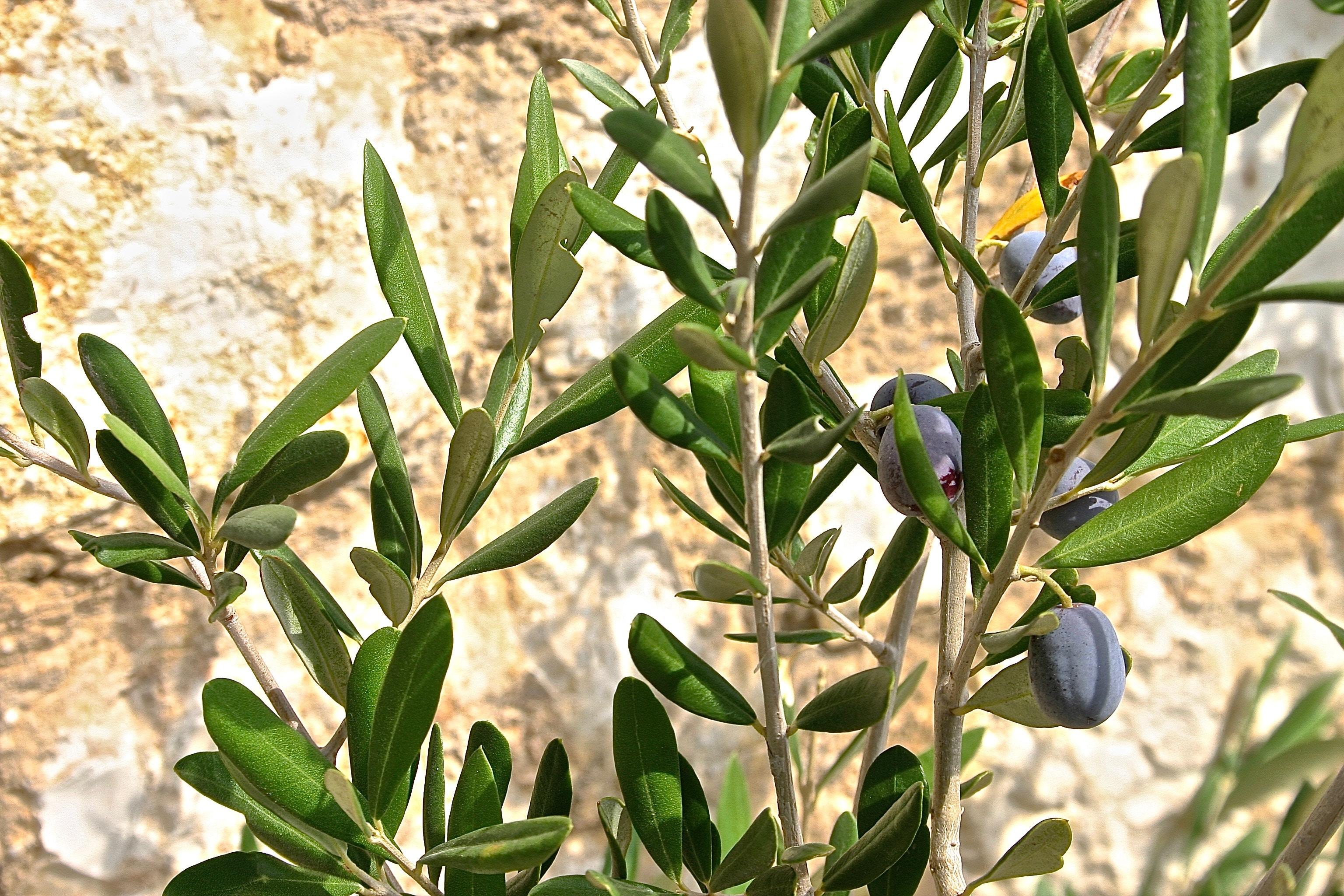 maladies du prunier