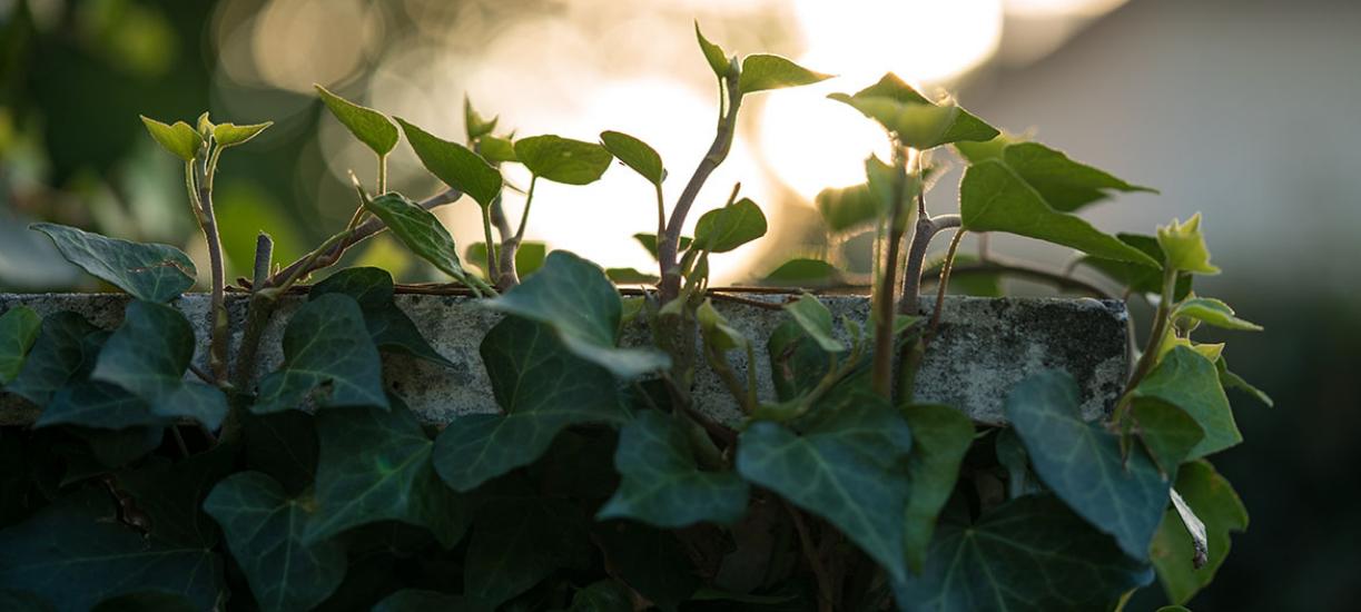 Plantes grimpantes à fleurs