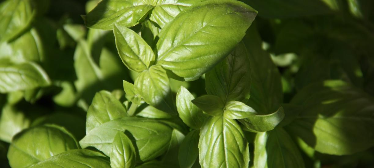 Cmonjardinier vous explique comment cultiver le basilic.
