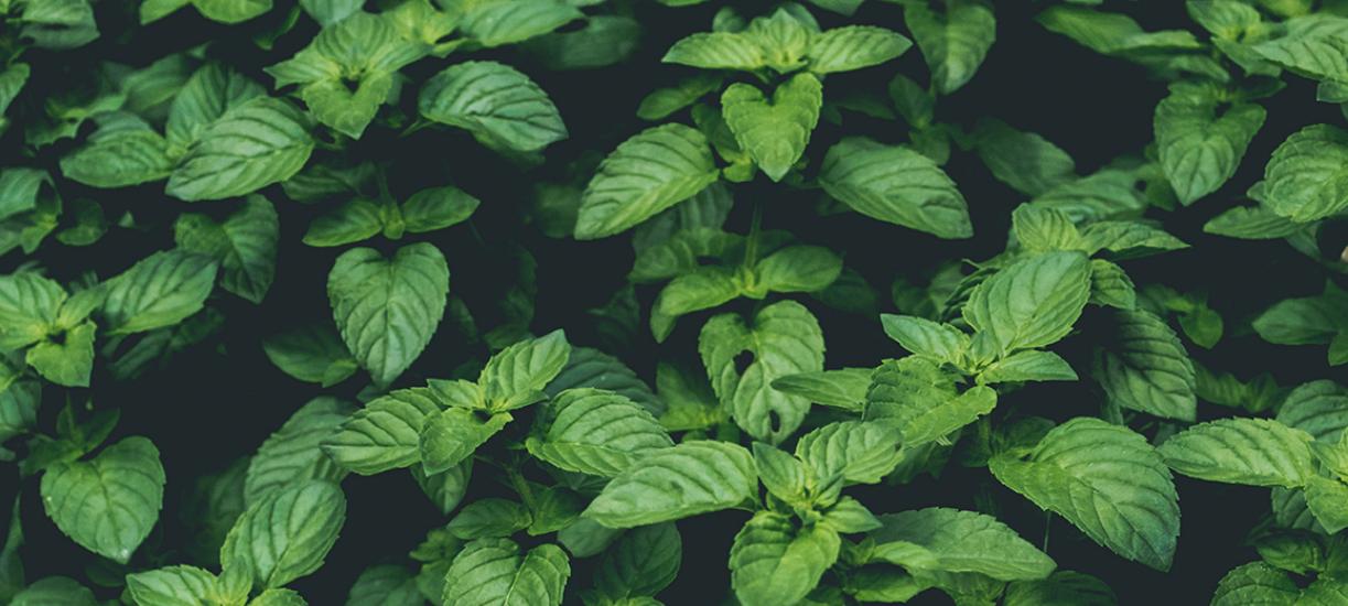Les plantes anti-moustiques.
