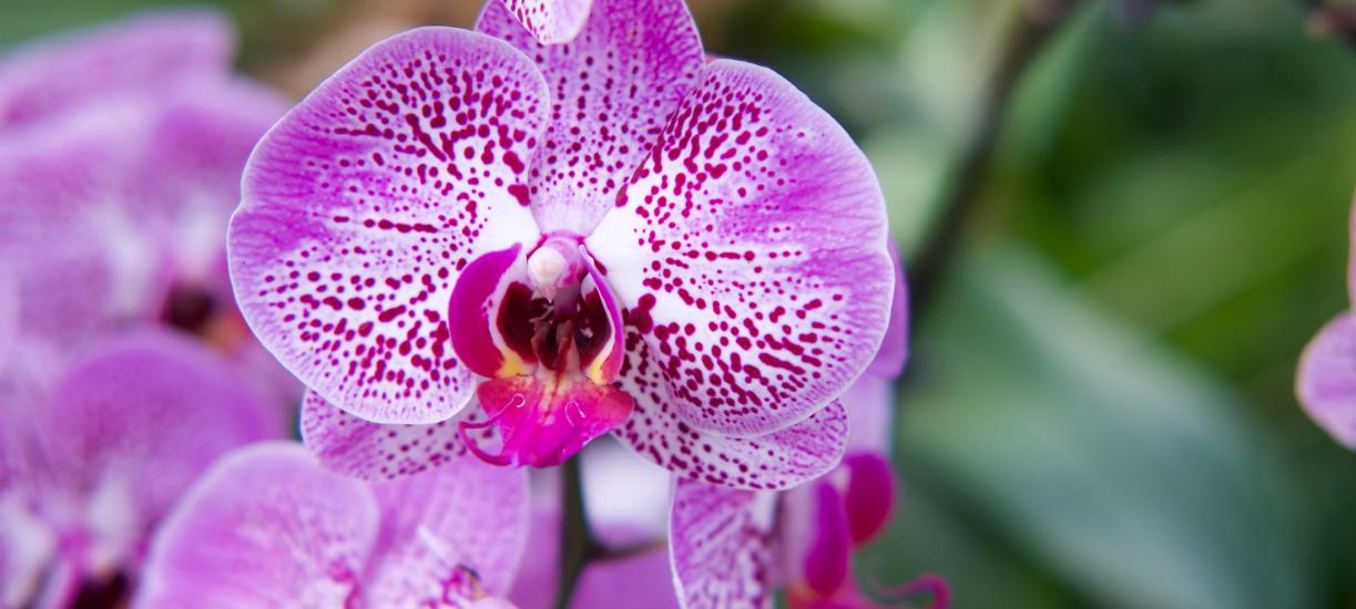 Cmonjardinier vous explique comment planter, rempoter et arroser votre orchidée.