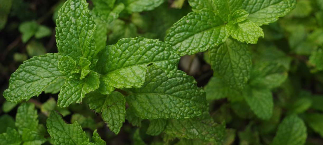 Cmonjardinier vous explique comment cultiver la menthe.