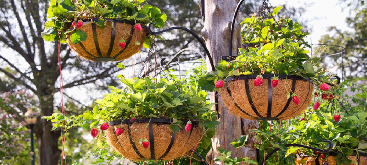 Cmonjardinier vous donne des conseils pour cultiver des fraises hors-sol ? On vous dit tout