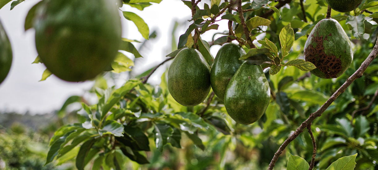 Comment entretenir un avocatier? Cmonjardinier vous dit tout sur cet arbre tropical aux fruits 100% healthy.