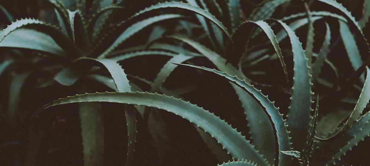 Comment entretenir un Aloe Vera? Cmonjardinier vous dit tout.
