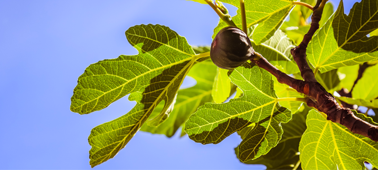 Savez-vous comment tailler un figuier ? Cmonjardinier vous donne conseils et astuces pour avoir un bel arbre fruitier.