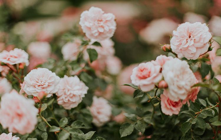 Connaissez-vous les différentes maladies des rosiers ? On vous explique comment les reconnaitre et comment les traiter.
