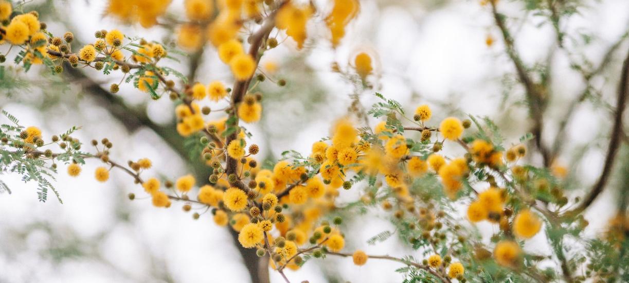 Savez-vous comment entretenir un mimosa ? Cmonjardinier vous dit tout