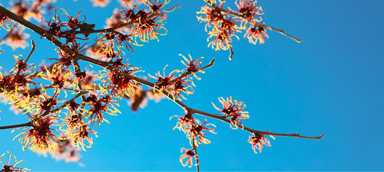 Cmonjardinier a fait rien que pour vous une petite sélection de 10 arbres et arbustes résistants au froid.