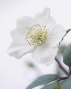 L'hellebore fait partie de la sélection fleurs et plantes de Noël de Cmonjardinier
