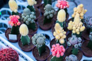 Les petits cactus font partie de la sélection fleurs et plantes de Noël de Cmonjardinier