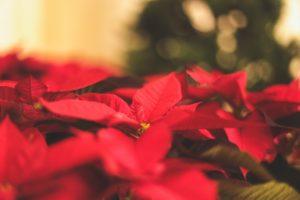 La poinsettia fait partie de la sélection fleurs et plantes de Noël de Cmonjardinier