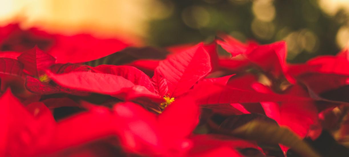 Cmonjardinier vous a fait une sélection de fleurs et plantes de Noël.