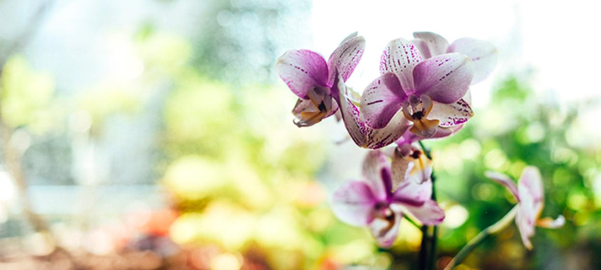 Voici de petit guide d'orchidée : entretien fait par Cmonjardinier pour vous aider a bien entretenir votre plante.