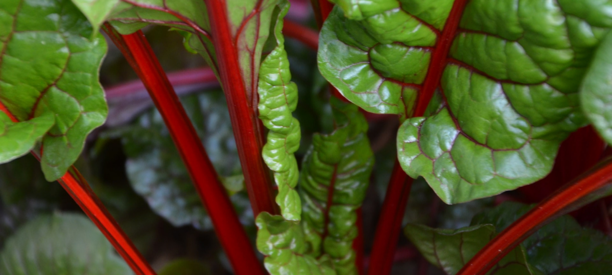 Cmonjardinier vous dit tout ce qu'il faut savoir sur la rhubarbe..