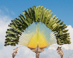 L'arbre du voyageur, emblème de Madagascar.