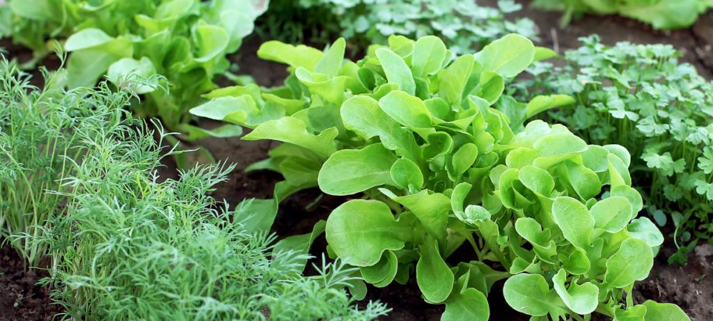 Cmonjardinier vous propose une sélection de végétaux à planter en octobre au potager.